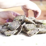 Laying out the Galway Native Oysters